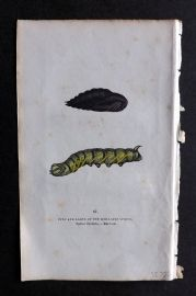 Captain Brown 1834 Hand Col Moth Print. Pupa and Larva of the Ocellated Sphinx 61